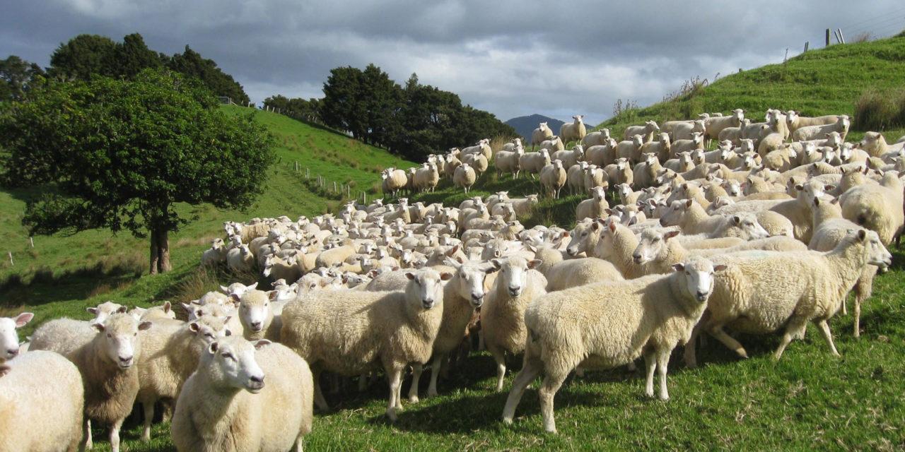 https://saratovagro.ru/wp-content/uploads/2020/08/sheep-22-1280x640.jpg